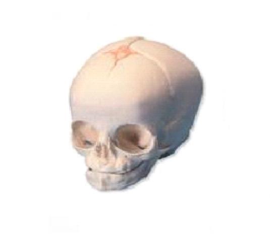 康人婴儿头颅骨模型kar/11115功能特点