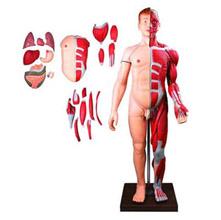 人体全身层次解剖附内脏模型 KAR/10001-2