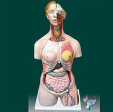 男、女两性人体半身躯干模型 KAR/10002