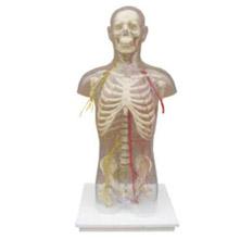 透明半身躯干附血管神经模型 KAR/10005