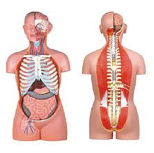 无性人体半身躯干模型 KAR/10003B