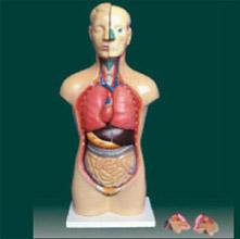 男、女两性人体半身躯干模型 KAR/10003D