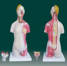 男、女两性人体半身躯干模型 KAR/10003A