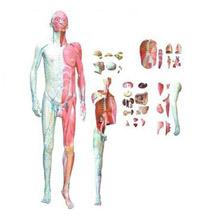 人体全身层次解剖附内脏模型 KAR/10001-1