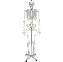 女性人体骨骼模型2 KAR/11101-2