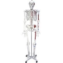 人体骨骼半边肌肉着色模型 KAR/11102-2