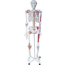 人体骨骼半边肌肉着色附韧带模型 KAR/11102-1
