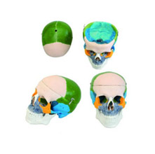 成人头颅骨骨性着色模型 KAR/11111-1