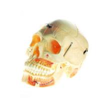 成人头颅骨附血管神经模型 KAR/11113