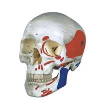 成人头颅骨肌肉着色模型 KAR/11111-2