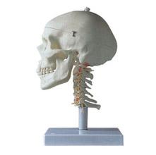 成人头颅骨带颈椎模型 KAR/11111-3