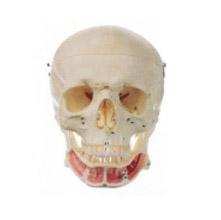 成人头颅骨附神经模型 KAR/11112