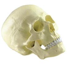 成人头颅骨模型 KAR/11110