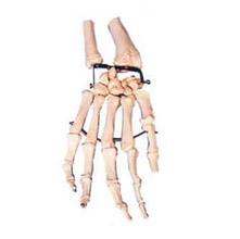 手掌骨模型 KAR/11126