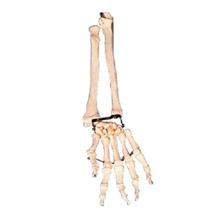 手臂骨带尺骨与挠骨模型 KAR/11125