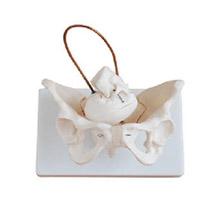 女性盆骨带胎儿头颅骨模型 KAR/11128-1