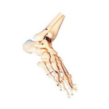 足骨模型 KAR/11133