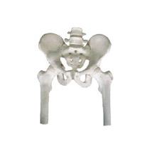 骨盆带两节腰椎附半腿骨模型 KAR/11129-1
