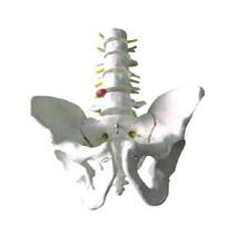 骨盆带五节腰椎模型 KAR/11129-3