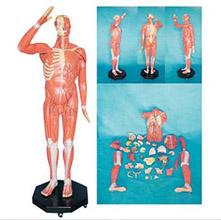 人体全身肌肉附内脏模型 KAR/11301-1