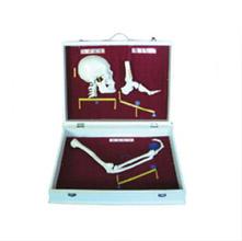 人体骨杠杆分类模型 KAR/11211