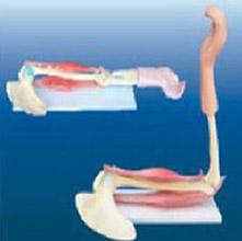 肘关节与肌肉功能模型 KAR/11210