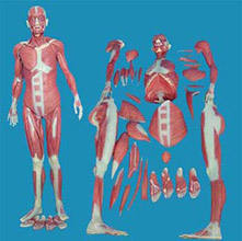 人体全身肌肉解剖模型 KAR/11302-1