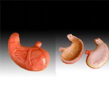 胃解剖模型 YLM-A12002