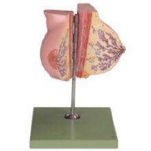 静止期女性乳房解剖模型 KAR/15110