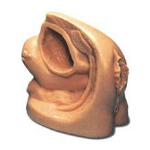 高级女性导尿外生殖器模型 KAS-A2可进行导尿操作