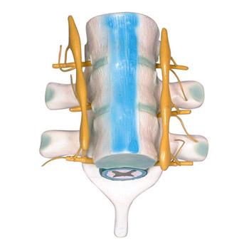 益聯脊髓和脊神經模型